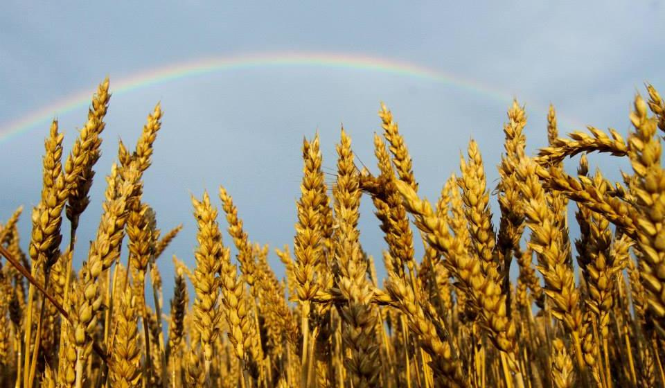 Wheat in Todd County with a full rainbow in the sky