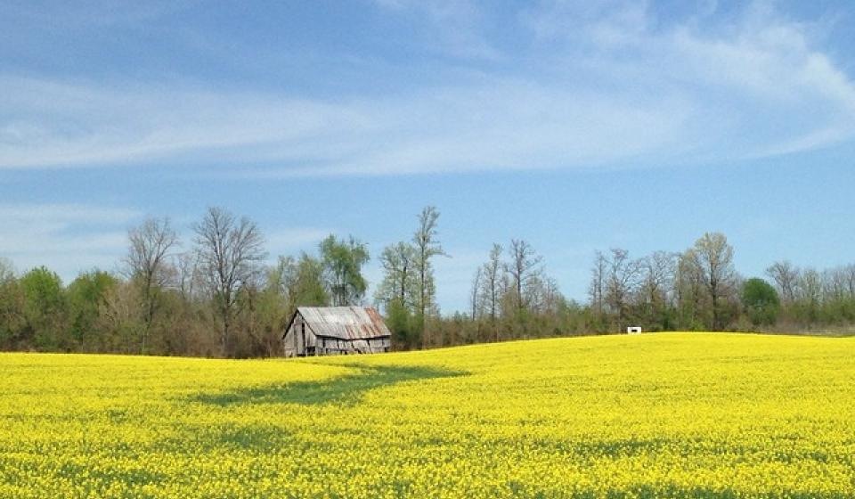 A field with flowering yellow canola with a barn in the back ground